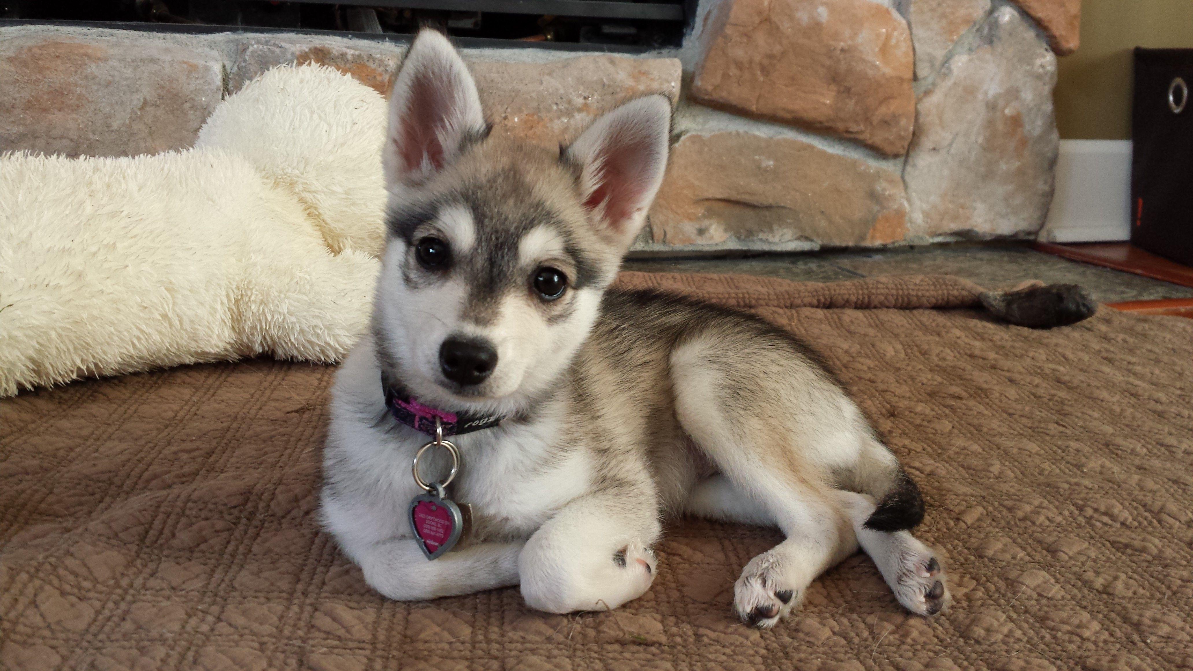 My 12 Week Old Alaskan Klee Kai Puppy Rukia 3 Puppy Adoption