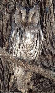 Owl as tree bark, interesting...