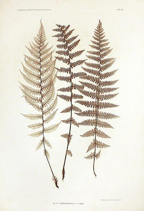 Ettingshausen Nature Printed Fern Prints 1856