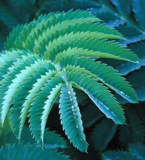 Melianthus major During the day there is often no time to really enjoy the garden If you then have the necessary leisure in the evening it is often already too dark But w...