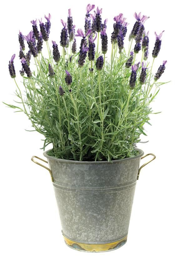 Lavender Now If I Can Just Get The Hubby To Plant It For