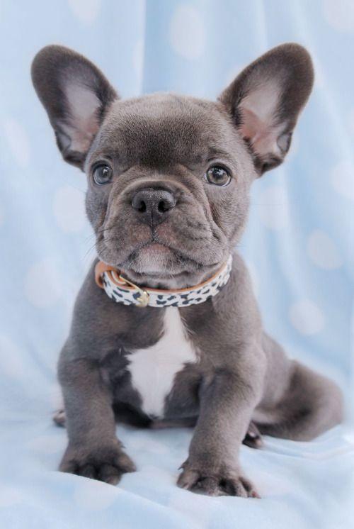 Zsazsa Bellagio Babyhunde Haustiere Bulldoggen Welpen