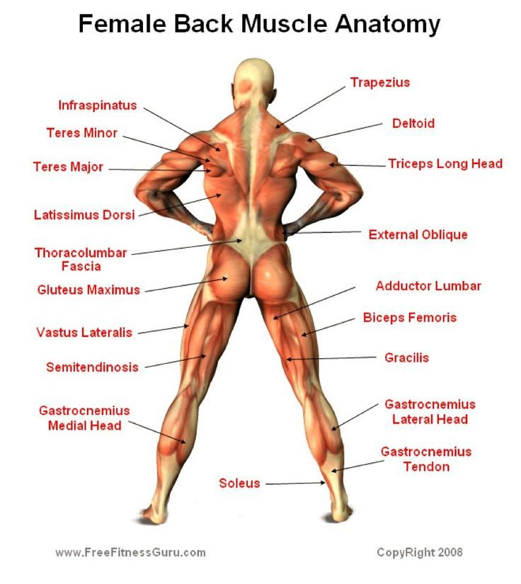 female anatomy muscles - google search | muscle groups | pinterest, Muscles