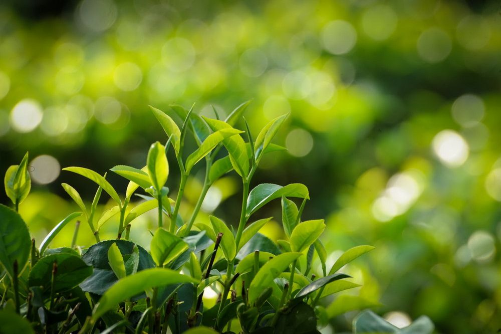 Fresh from Ceylon\'s tea gardens to your cuppa… #SriLanka #CeylonTea ...