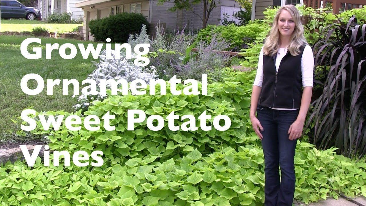 Growing ornamental sweet potato vines potato vines