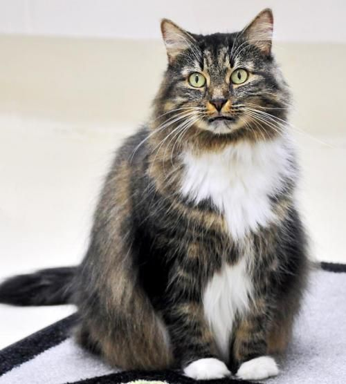 Meet 25914 Abby A Petfinder Adoptable Norwegian Forest Cat Cat In Ellicott City Md Petfinder Com Norwegian Forest Cat Cat Adoption Norwegian Forest
