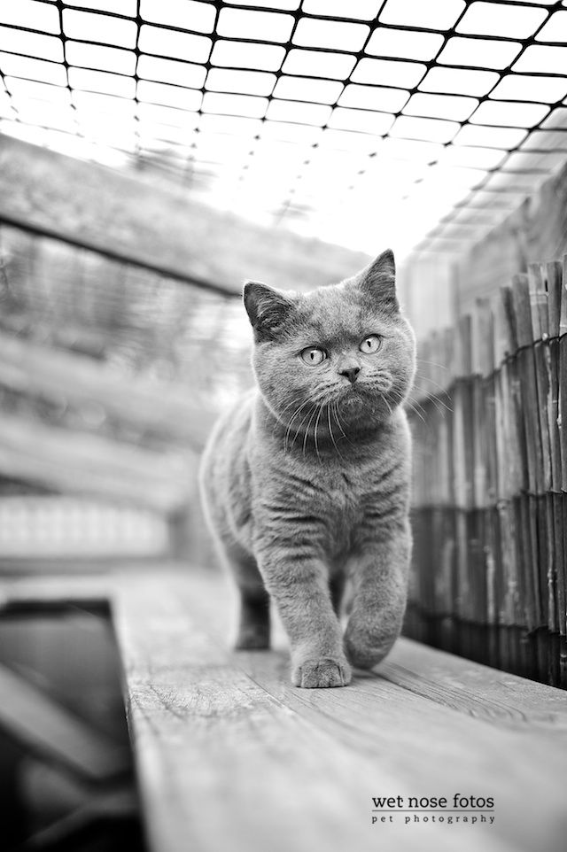 They Don T Call It A Catwalk For Nothin British Shorthair Cats Beautiful Cats