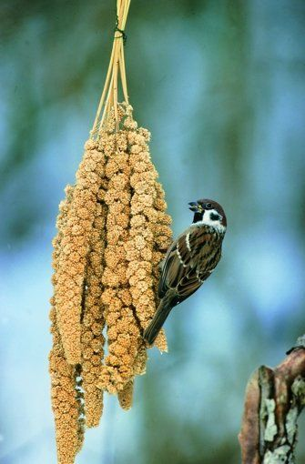 Simple Bird Feeder Sprays Of Millet Hung Up Bird Feeders Wildlife Habitat Beautiful Birds