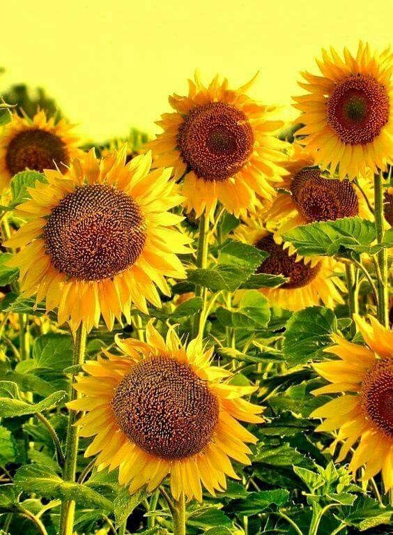 S u n f l o w e r s (With images) | Sunflowers and daisies ...