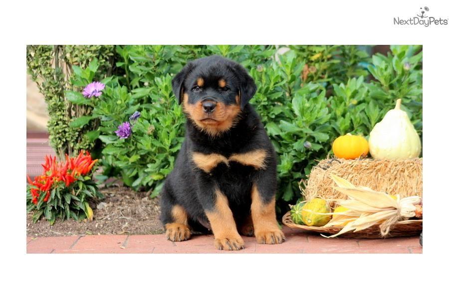 Park Art|My WordPress Blog_Newborn Rottweiler Puppies For Sale