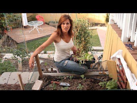 grow lettuce in hot weather