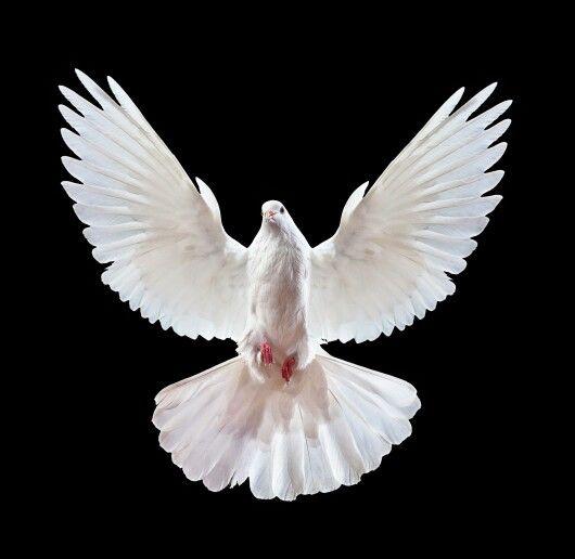 Nous Voulons Vivre Dans La Paix Dove Pictures White Doves Dove Flying