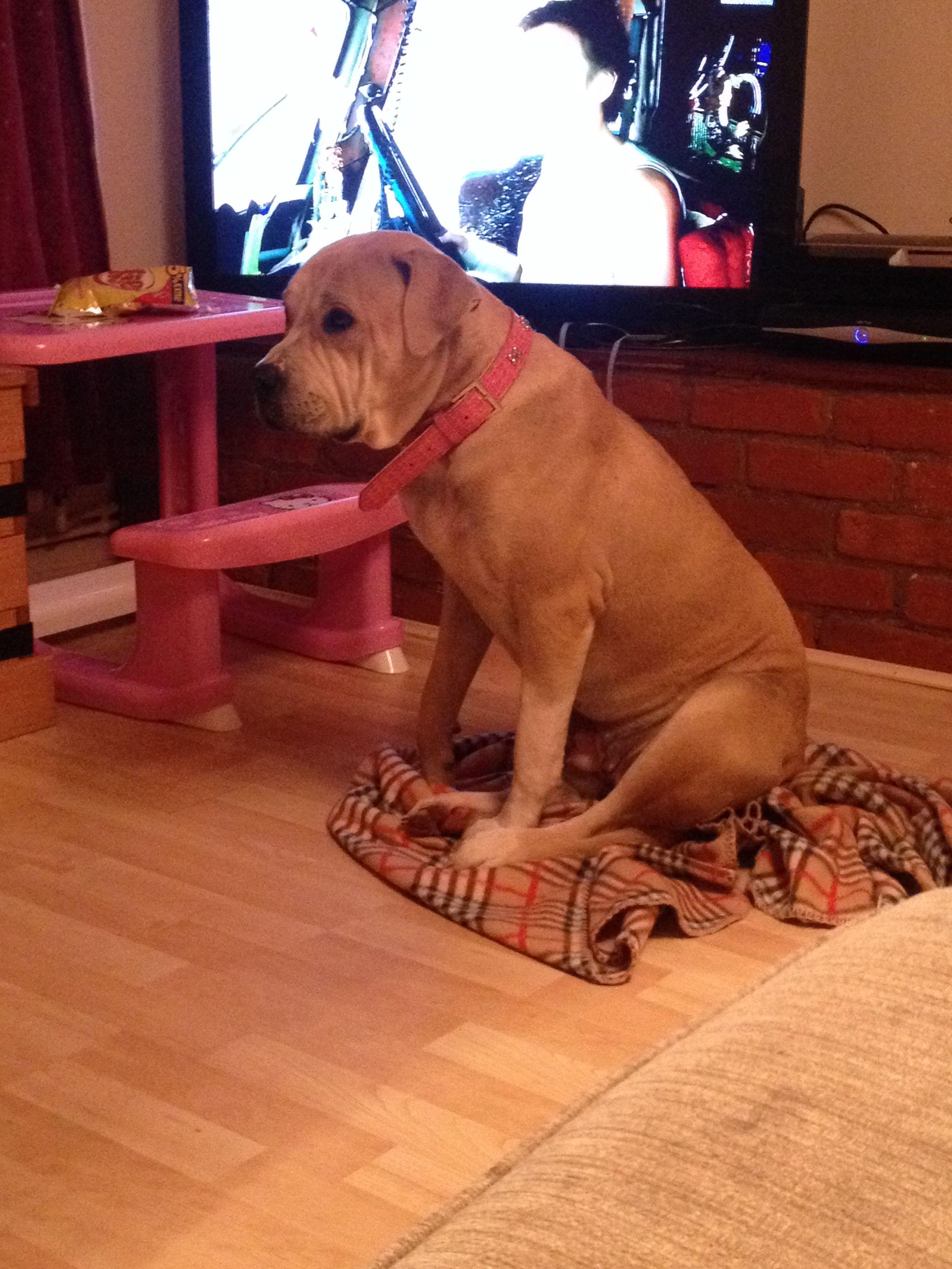 tia my bullmastiff x american bulldog 10 months looking more