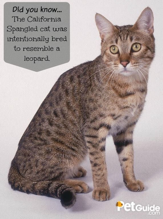 California Spangled Cat Breed Information And Pictures Petguide Cat Breeds Spotted Cat Cats