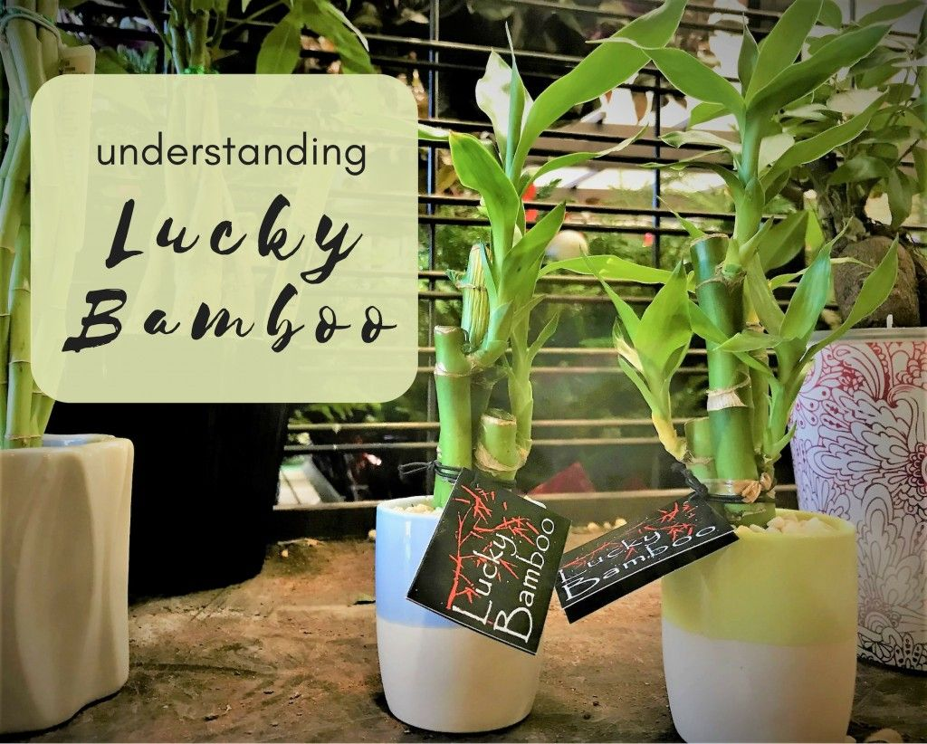 Care growth and meaning of lucky bamboo lucky bamboo