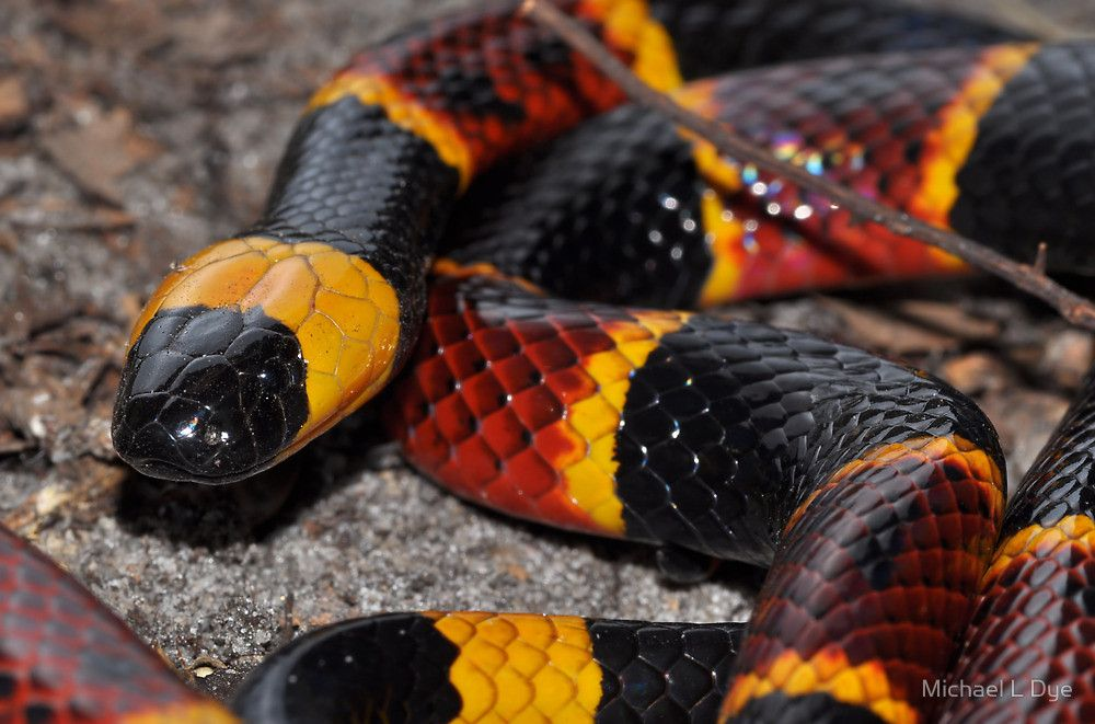 10 Best Micrurus fulvius images | Coral snake, Snake, Coral