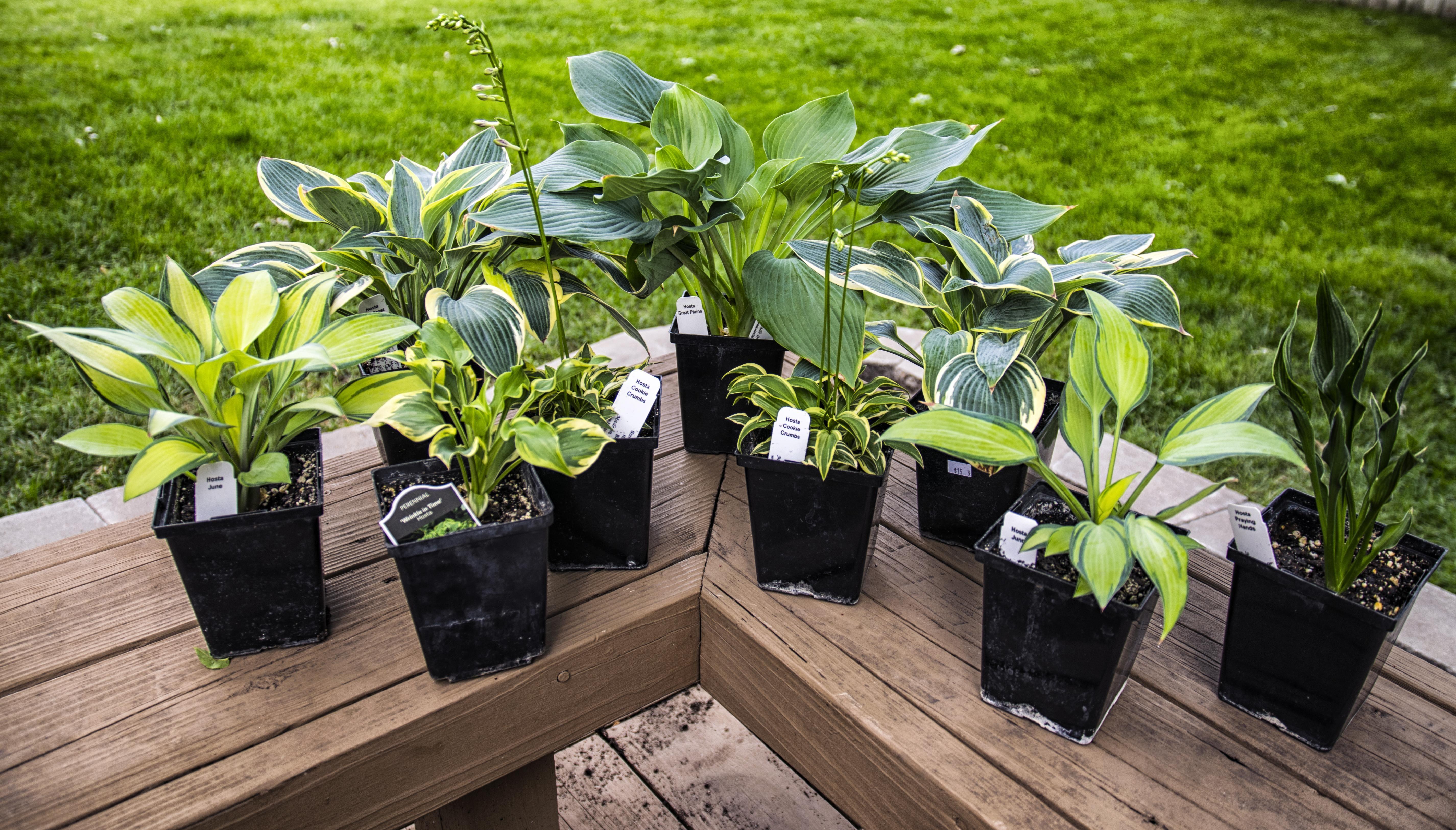 So it begins... Hostas for my very first garden! #gardening #garden #gardens #DIY #landscaping #home #horticulture #flowers #gardenchat #roses #nature