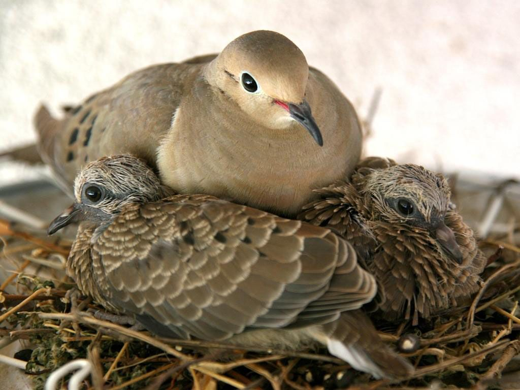 Morning doves used to be common around our house in the warm f126dd81b2980c9ffaf0e9664e670790g buycottarizona