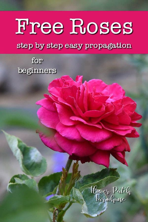 Simple Rose Garden: Easiest Way To Root Roses From Cuttings Or Slips