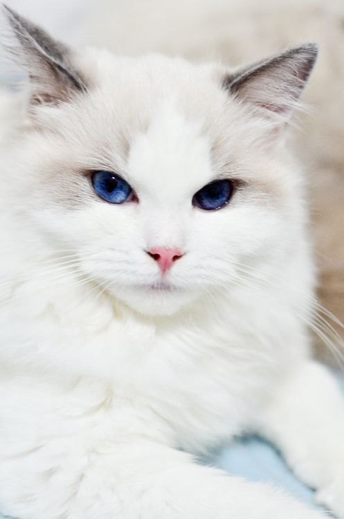 A Scintillatingly Beautiful White And Cream Cat With Blue Eyes