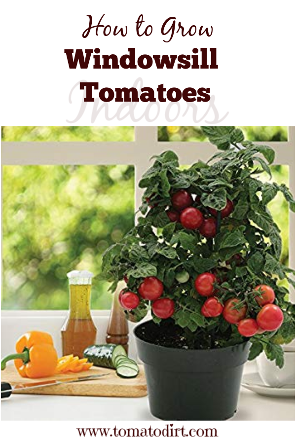 How To Grow Windowsill Tomatoes Indoors Growing Tomatoes Indoors