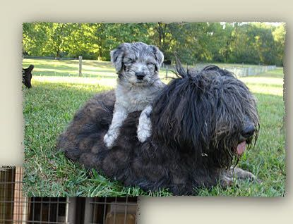 Bergamasco Puppy Mother Bergamasco Puppies Dogs