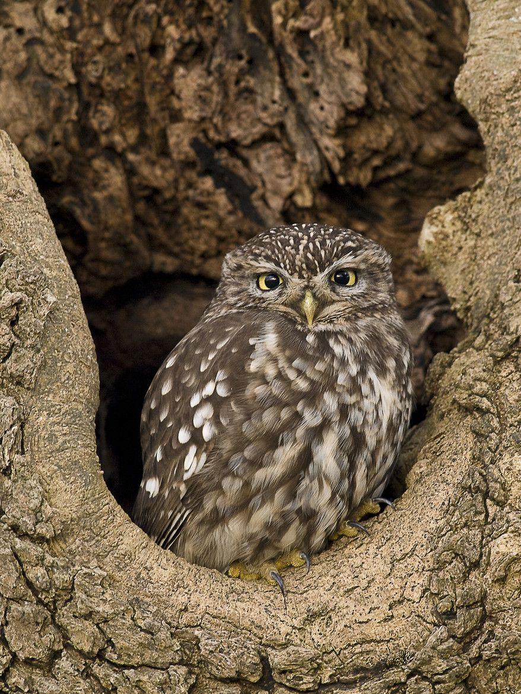 creatures-alive:  Little Owl in a tree cavity by Nico van Gelder