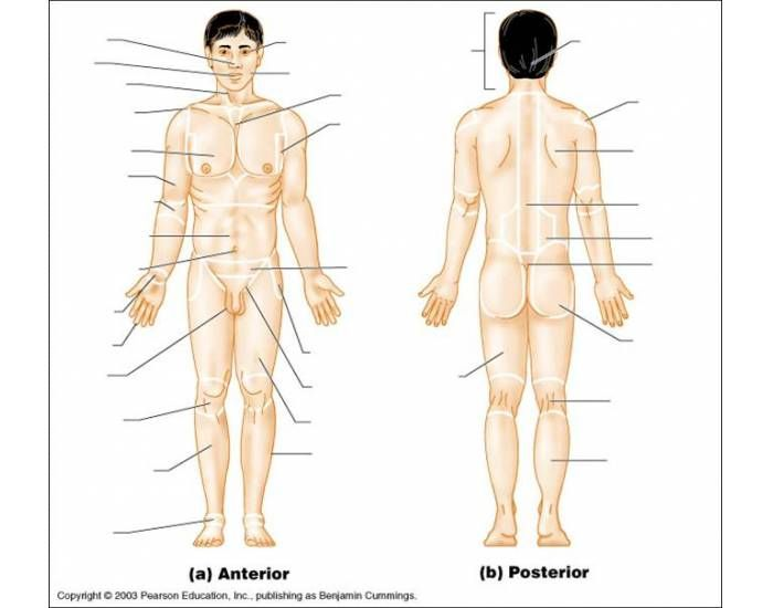 Fill in the human body diagram blank wiring library this is a quiz called anatomical regional fun game to help you rh pinterest com printable human body diagram fill in the blank anatomical regions ccuart Gallery