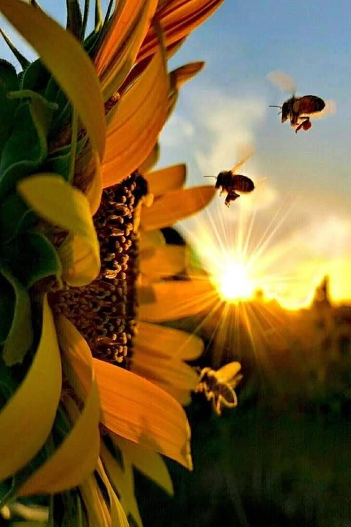 Crazysexytwisted Sunflower Pictures Sunflower Wallpaper Nature Photography