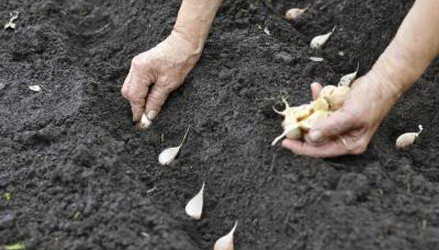 Garlic Cloves Planted In Soggy Soil May Rot Planting 400 x 300