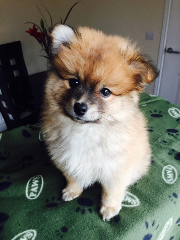 Pomeranian Boy 8 Weeks Old United Kingdom Gumtree Dogs Dogs For Sale Pomeranian