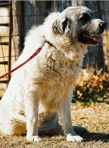 Should You Shave Your Dog In The Summer Great Pyrenees Working
