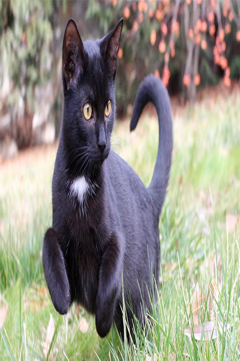55 Awesome Bombay Cat Names Cat Guides Grey Cat Names Cute