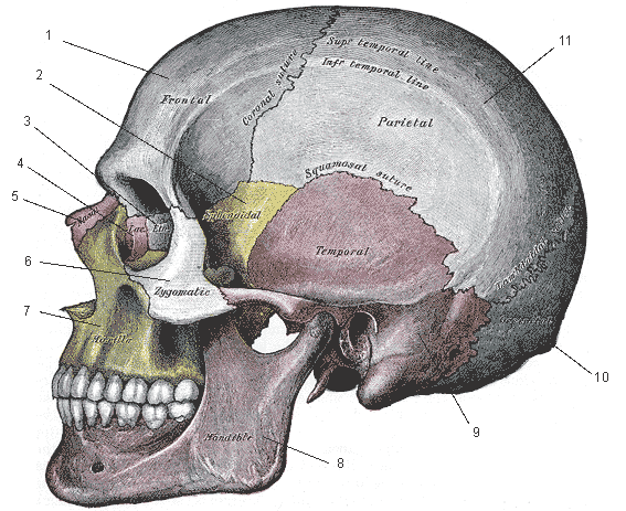 skull anatomy: the importance of a good head - knowing your skull, Skeleton