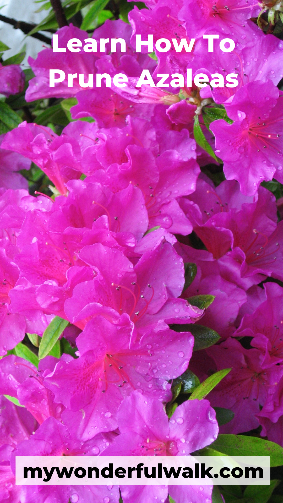 How To Prune Azaleas My Wonderful Walk Azaleas Landscaping Azalea Flower Azalea Shrub