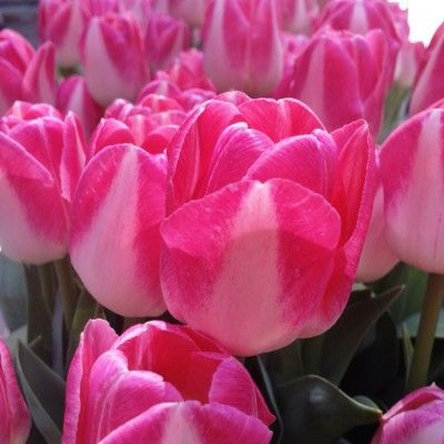 Tulips blooming in the concrete jungle! #USA #NYC #Flowers #Nature #Photography #color