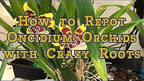 Photo of Oncidium Orchids Care:  How to Repot an Oncidium Orchid with Crazy Roots –  Onci…