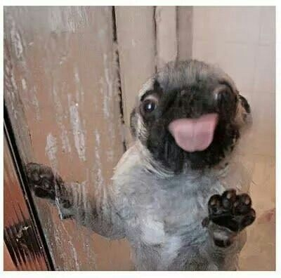 Thirsty Pug In The Shower Cute Pugs Goofy Dog Crazy Dog