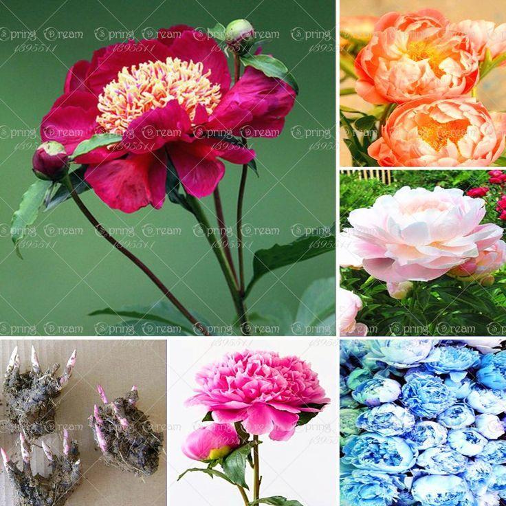 Bauchige Blumen Farbe Hausgarten Lampen Mischen Pfingstrose
