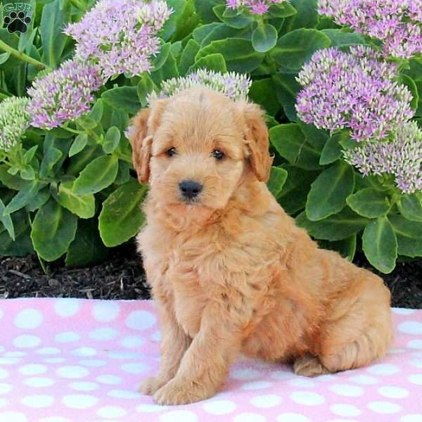 Rigsby English Cream Golden Retriever Puppy For Sale In