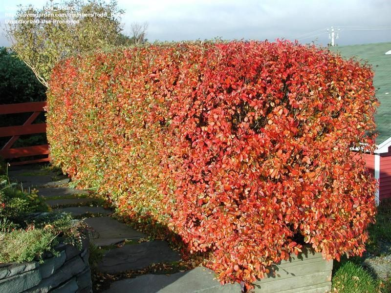 Cotoneaster Hedge Showing Fall Colour Hedges And Hedging