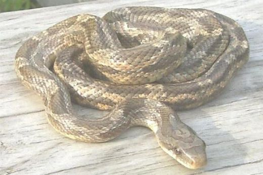 Is It a Rat Snake, Chicken Snake, or a Copperhead? | Decor