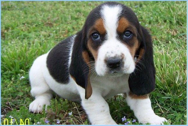 Basset Hound Puppy Cute Picture - http://bestdogbreeds.net/10128/basset-hound-puppy-cute-picture.html -  please visit http://goo.gl/9bZSSP, for more pictures of Basset Hound Puppy Cute Picture