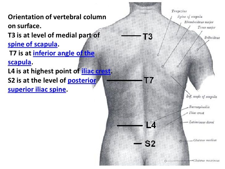 Vertebral Level Of Scapular Spine Google Search Biomechanics