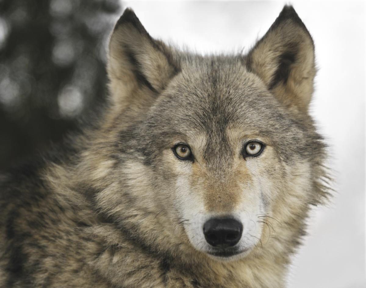 An Impeccable Explanation Of The 8 Symbols Of A Scorpio Mit Bildern Ausgestopftes Tier Exotische Haustiere Wolf