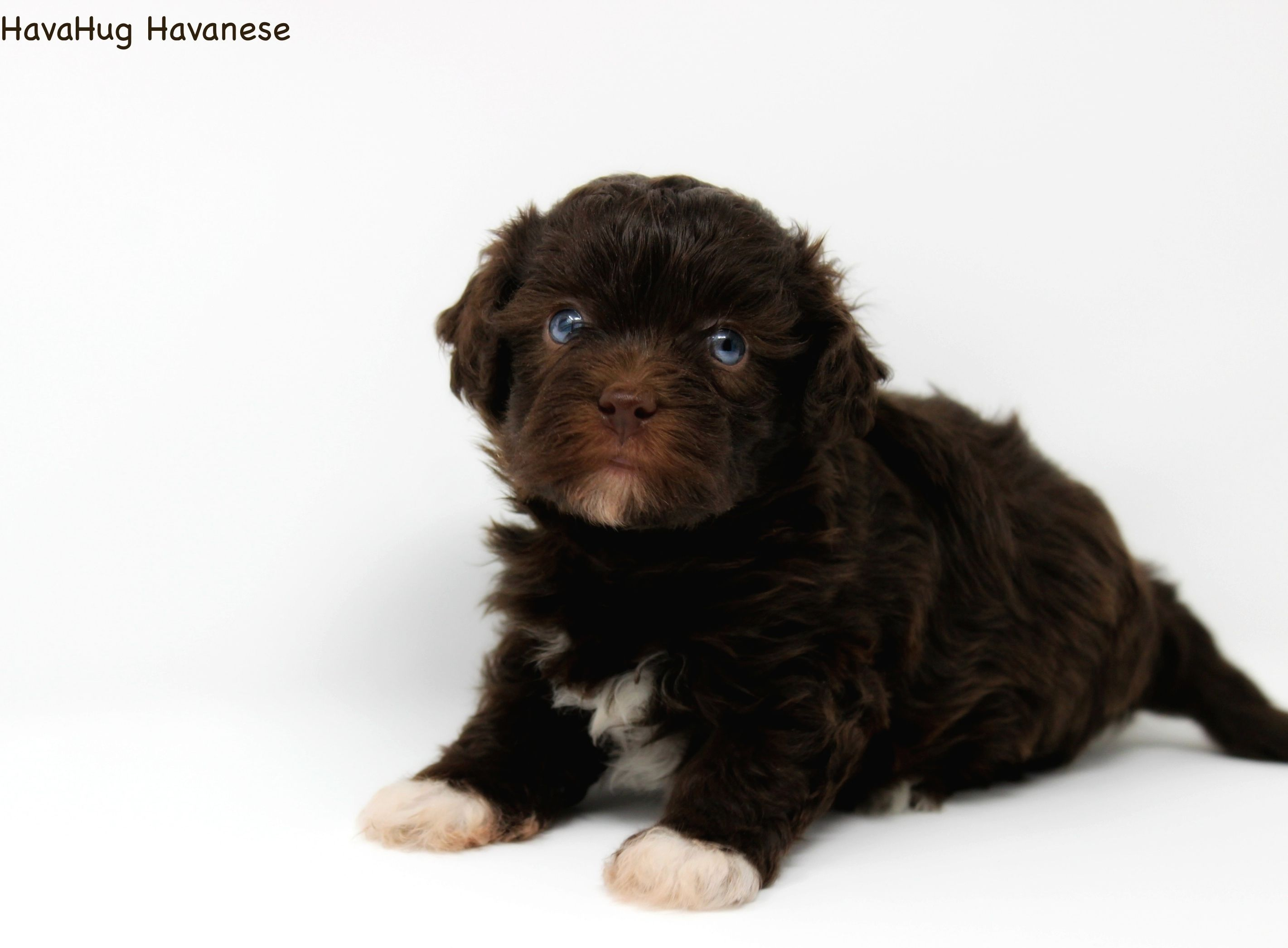 The world's most precious chocolate havanese puppies