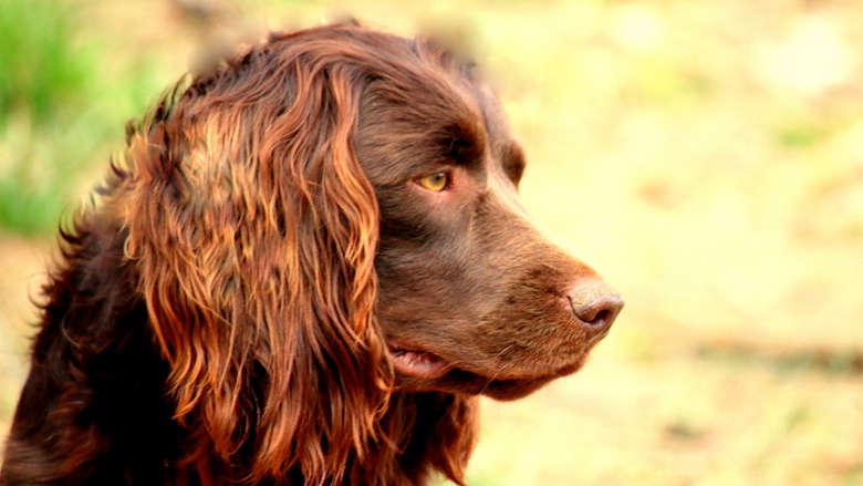 The Boykin Spaniel Dog breeds, Dog breed info, Dogs
