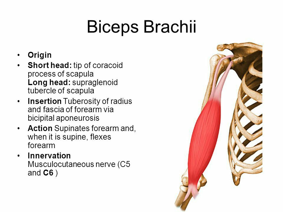 Biceps brachii ( Note: Major supinator of the forearm ) ( Supination ...