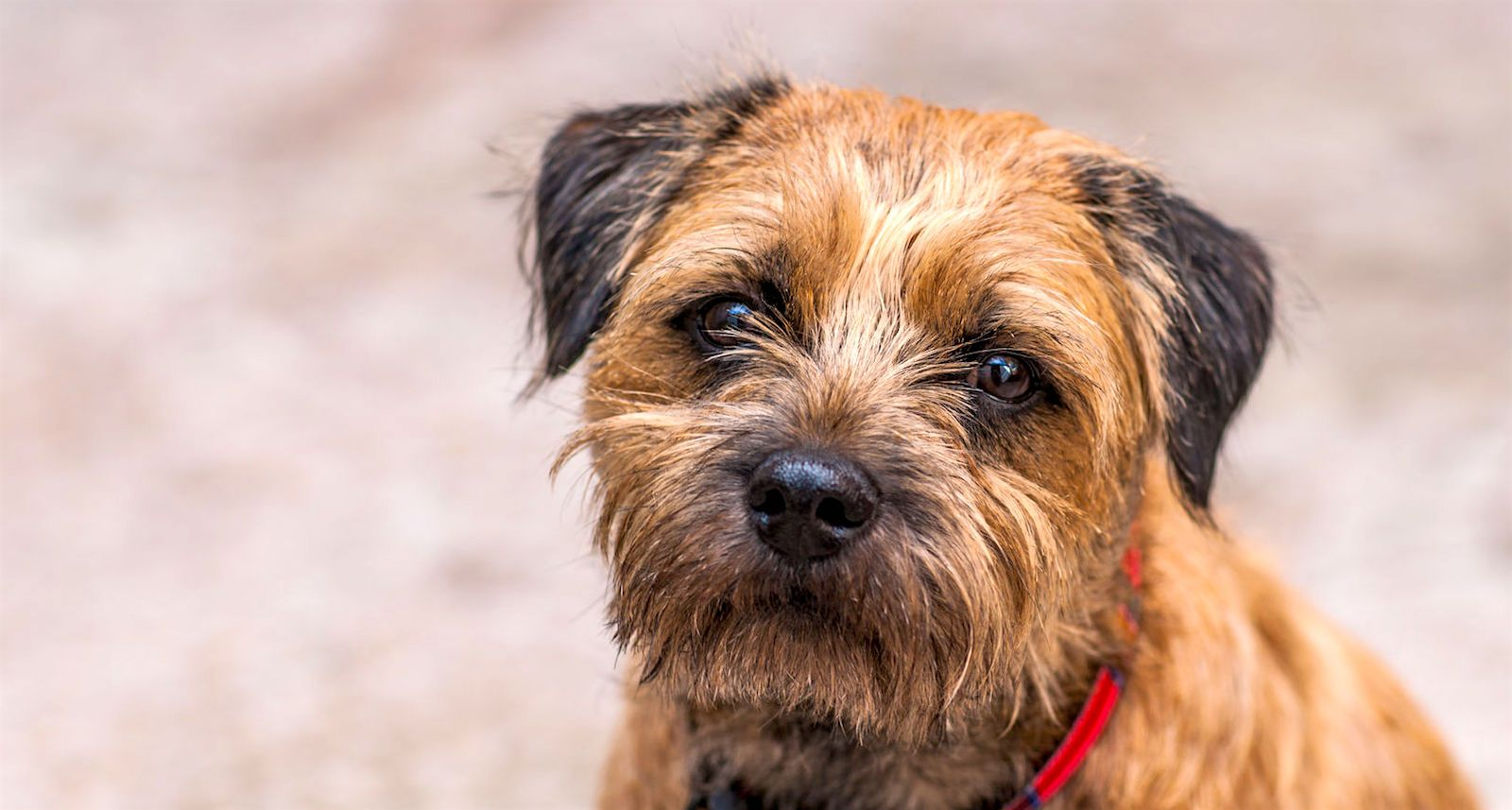5 Things To Know About Border Terriers Border Terrier Scruffy