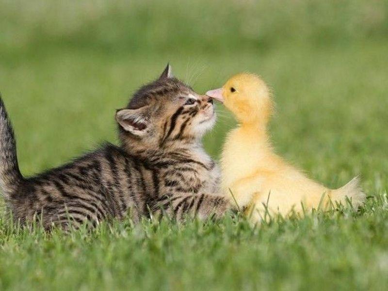 Ungewohnliche Freundschaften Ein Kuken Kommt Selten Allein Susseste Haustiere Super Susse Tiere Niedliche Tierbabys